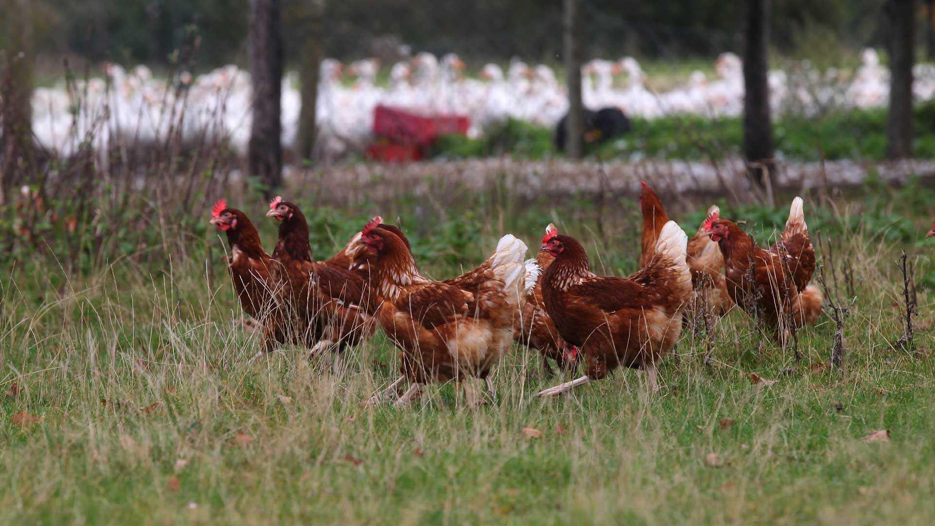 Hühner Geflügelhof Hörning