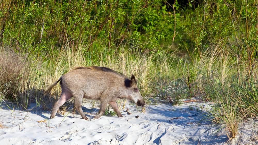 Wildschwein aus der eigenen Jagd